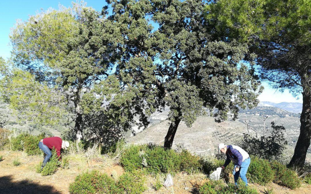 Recogida de bellotas en el Llano de la Perdiz.
